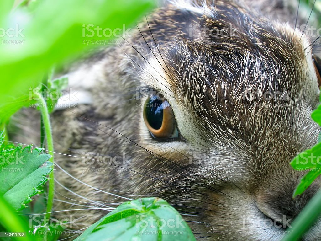 Extreme close-up eye of hare stock photo