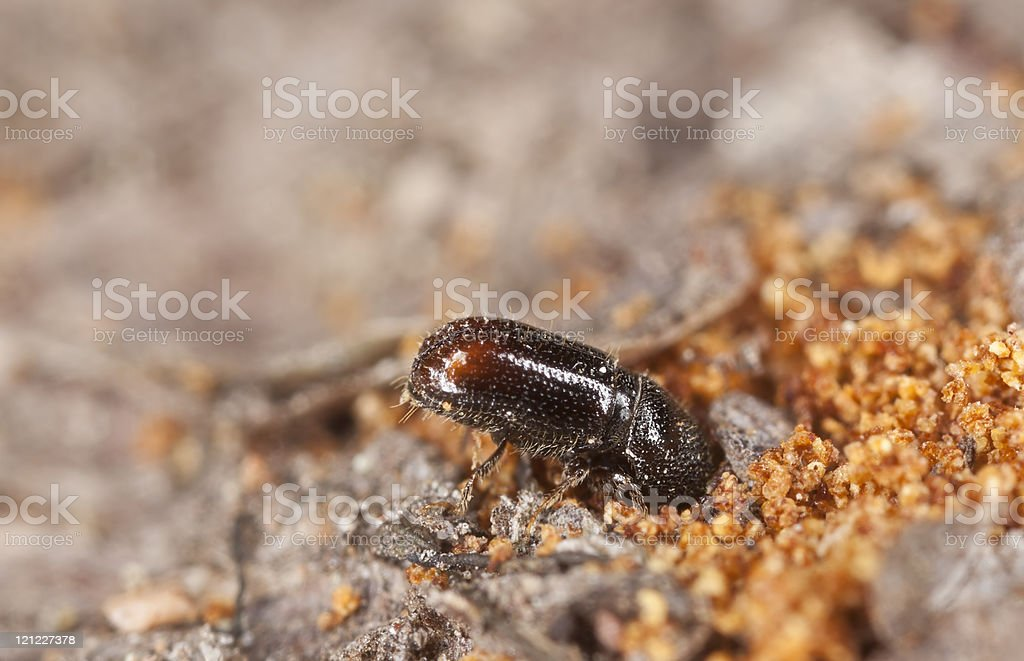 Extreme close-up of a Bark borer working on wood stock photo