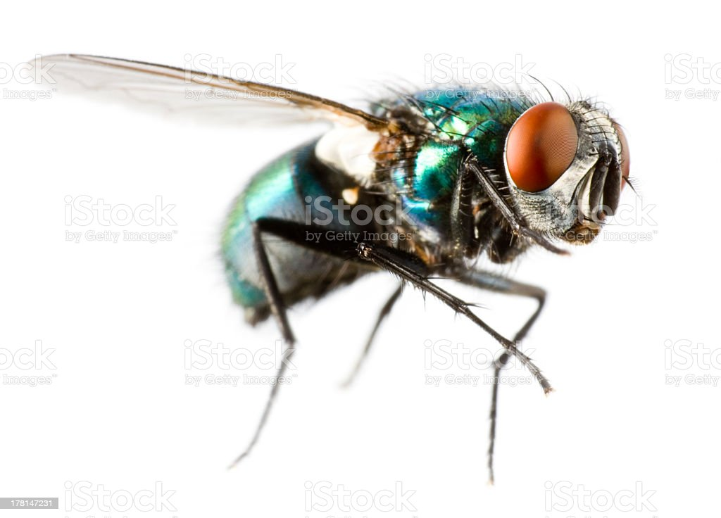 Extreme close-up of a flying house fly stock photo