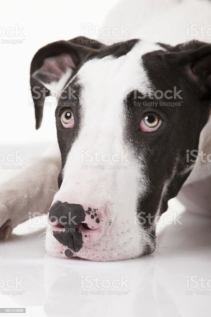 Extreme Close-Up of Harlequin Great Dane's Face royalty-free stock photo