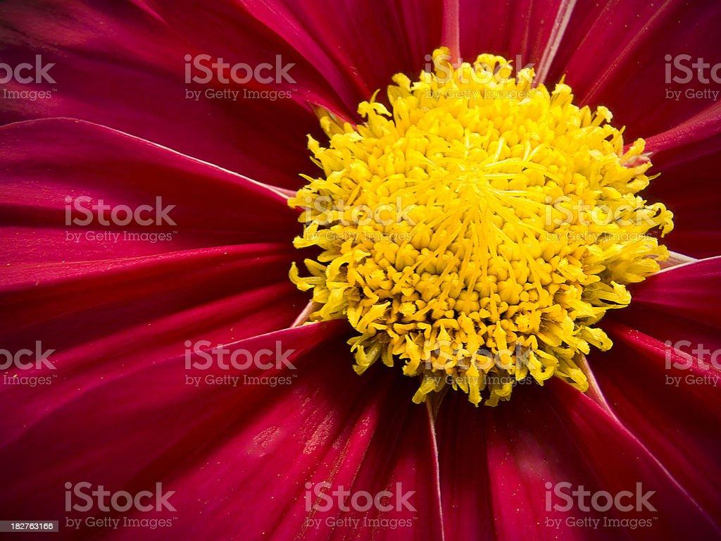 Intensément gros plan extrême de couleurs rouge fleurs de Cosmos photo libre de droits