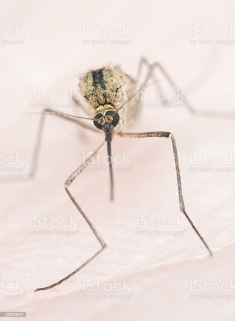 Extreme close-up of mosquito stock photo