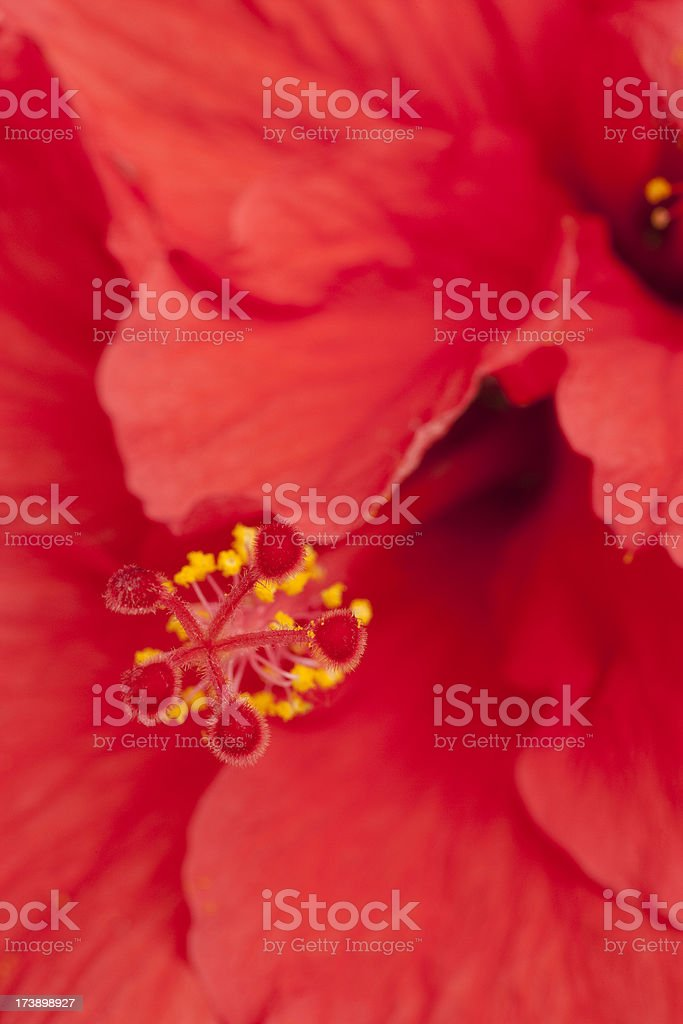 Extreme Close-up of Red Hibiscus Flower, Focus on Stamen royalty-free stock photo