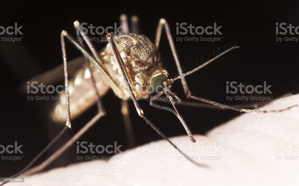 Extreme close-up picture of a mosquito sucking blood royalty-free stock photo