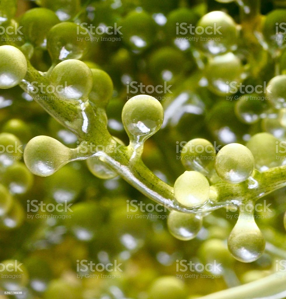 Extreme close-up : Seaweed food stock photo