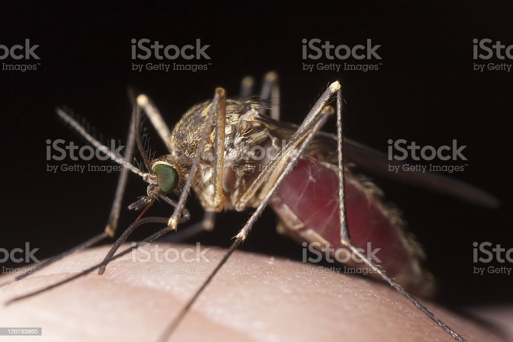 Extreme close-up with high magnification of mosquito biting royalty-free stock photo