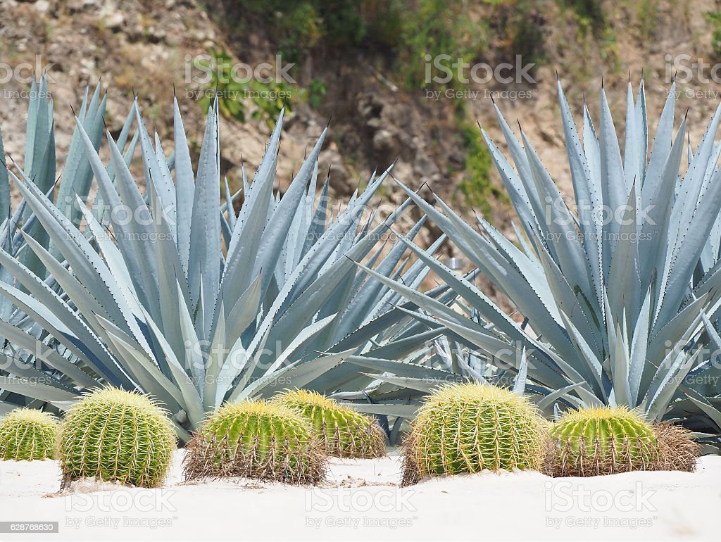 Extreme Depth of Field Photo of Blue Yucca and Barrel Cactus stock photo
