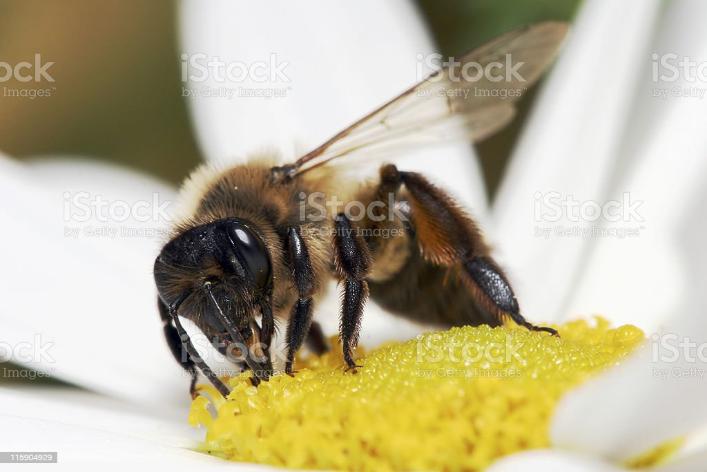 Extreme honeybee macro 1 stock photo