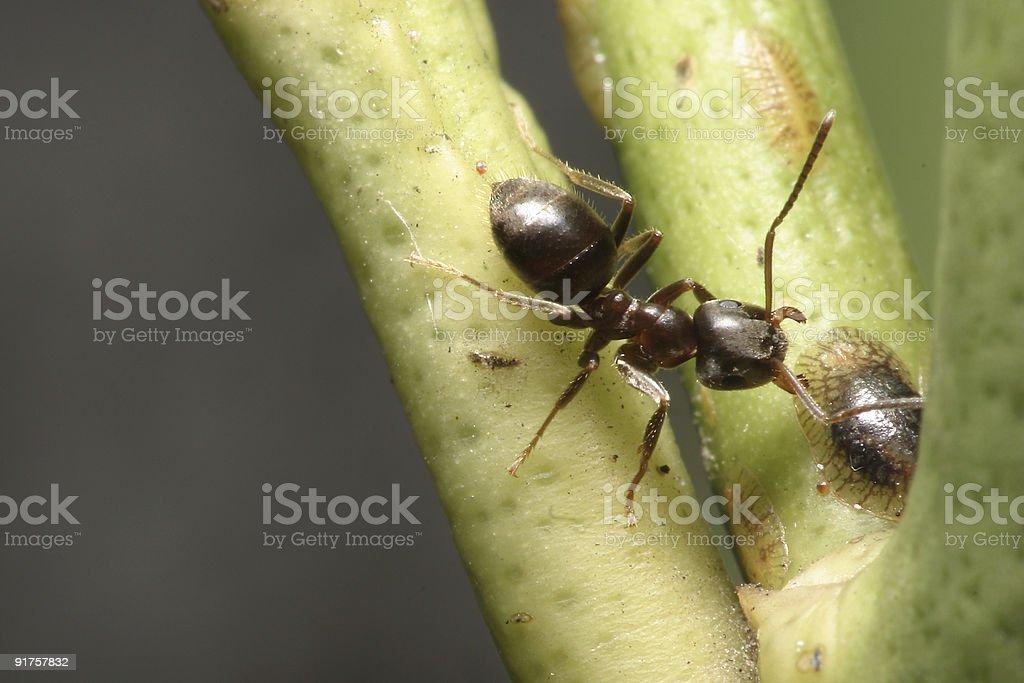 Extreme macro of a black ant stock photo