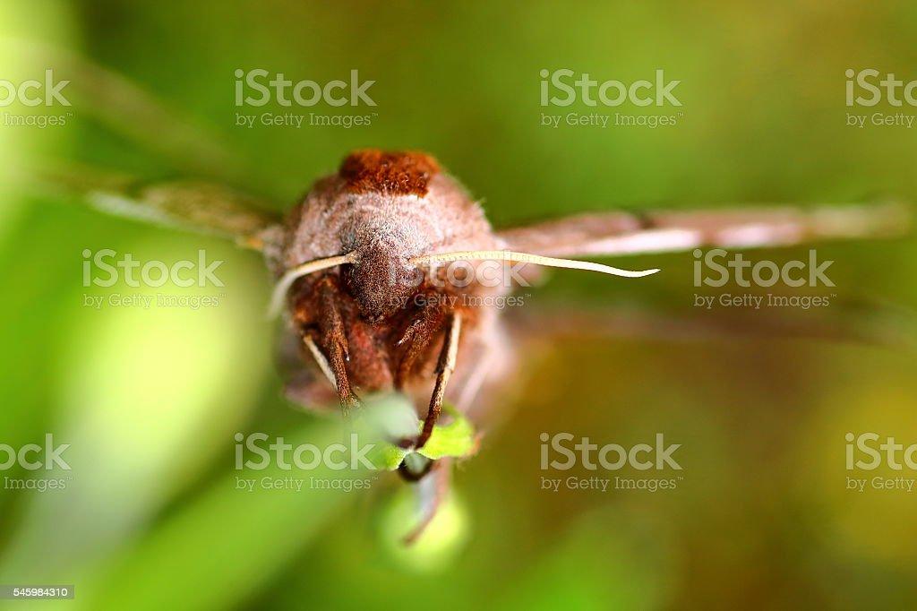 Extreme macro of beautiful Poplar Hawk-Moth butterfly on green background stock photo