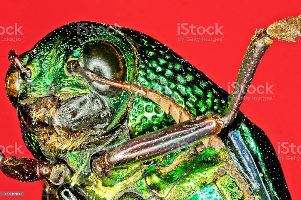 Extreme macro tiger beetle. royalty-free stock photo