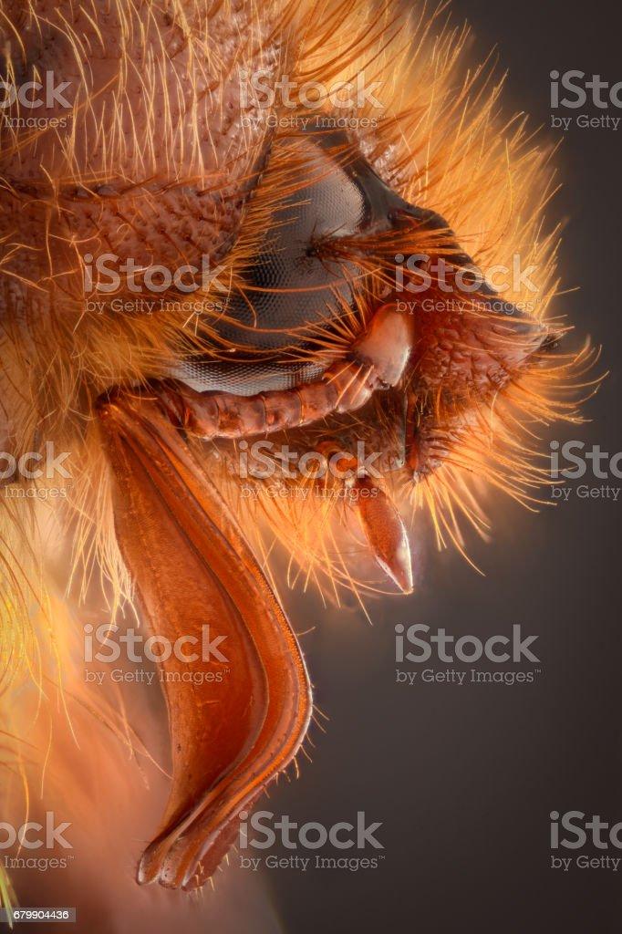 Extreme magnification - Amphimallon caucasicum beetle stock photo