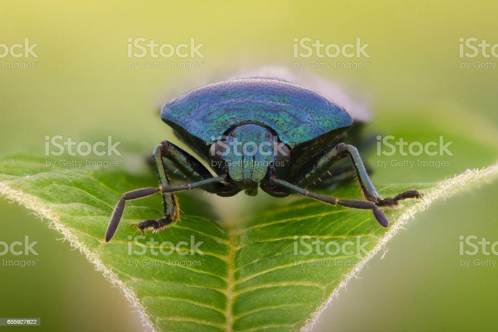 Extreme magnification - Blue shieldbug, Zicrona Caerulea stock photo
