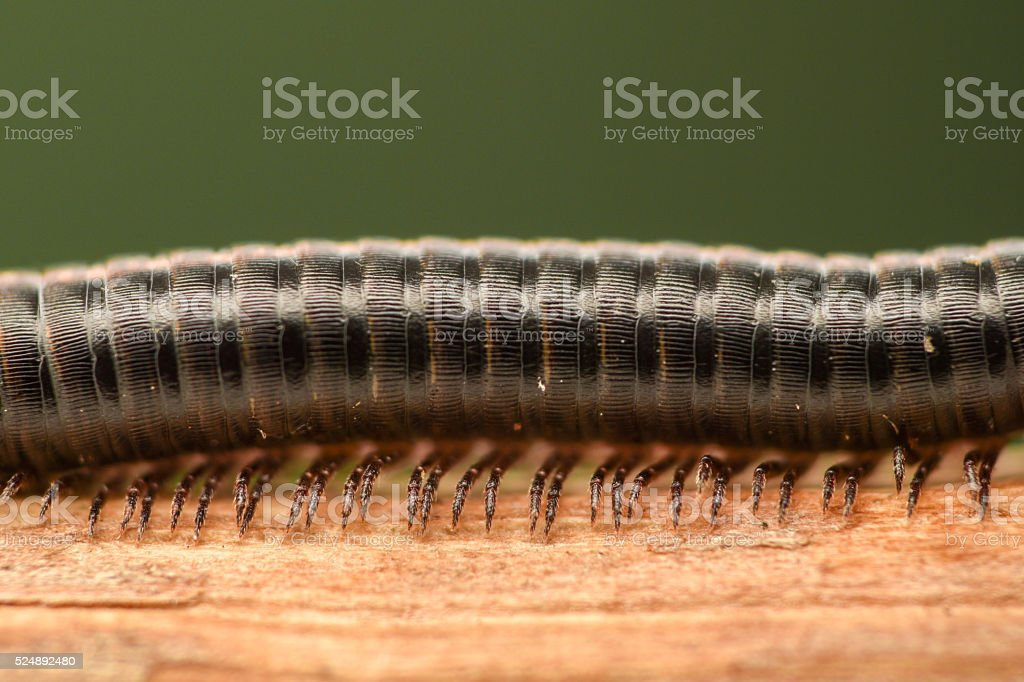 Extreme magnification - Centipede with many legs stock photo