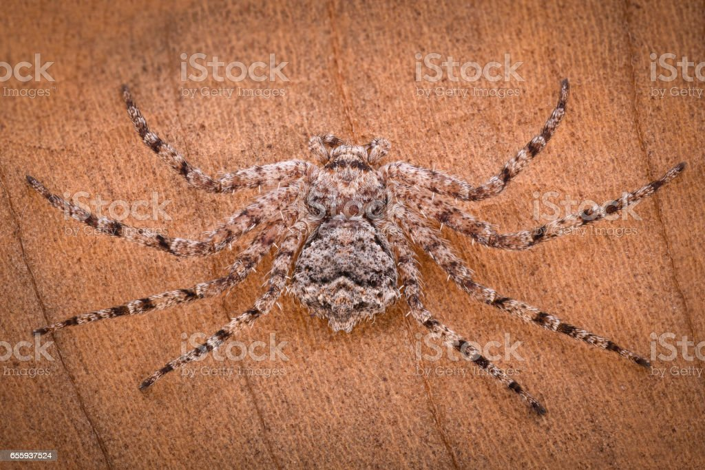 Extreme magnification - Crab spider stock photo