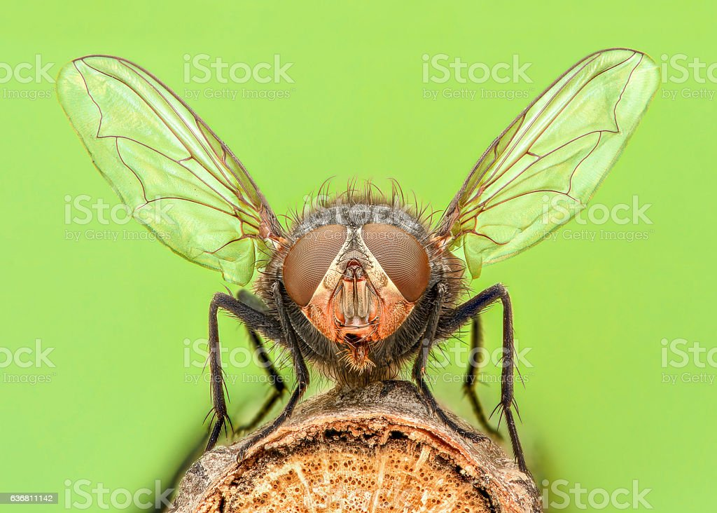 Extreme magnification - Fly with spread wings stock photo