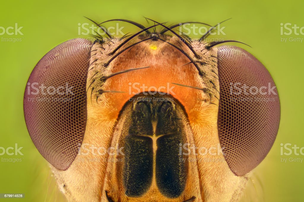 Extreme magnification - Fruit fly stock photo