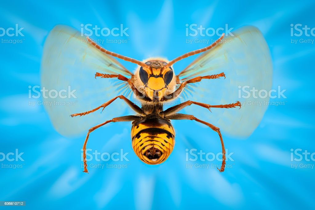 Extreme magnification - Giant Wasp in flight atacking stock photo
