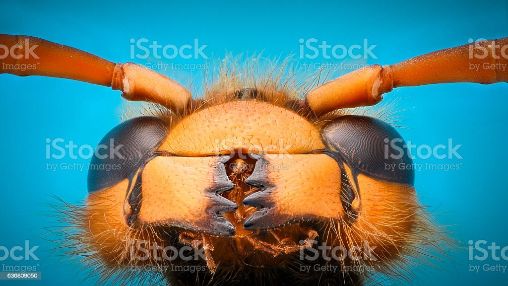 Extreme magnification - Giant Wasp Jaws stock photo
