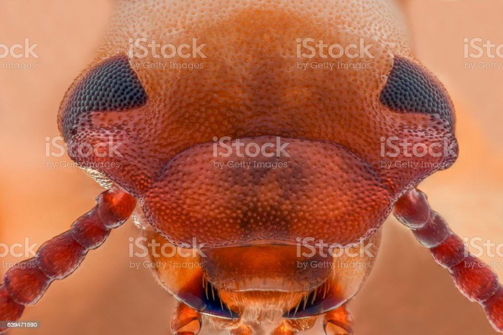 Extreme magnification - Mealworm beetle jaws, Tenebrio molitor stock photo