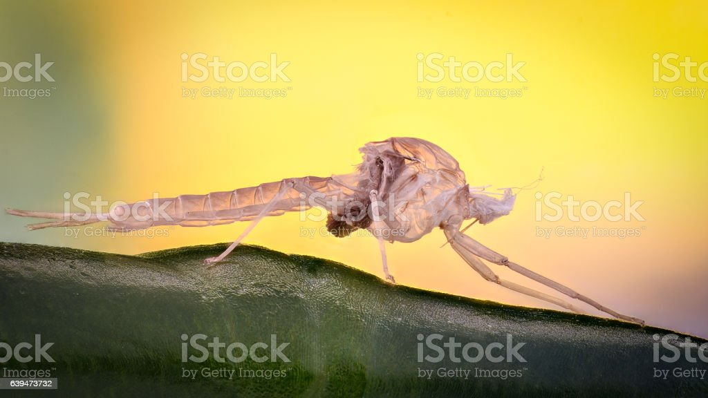 Extreme magnification - Mosquito empty skin stock photo