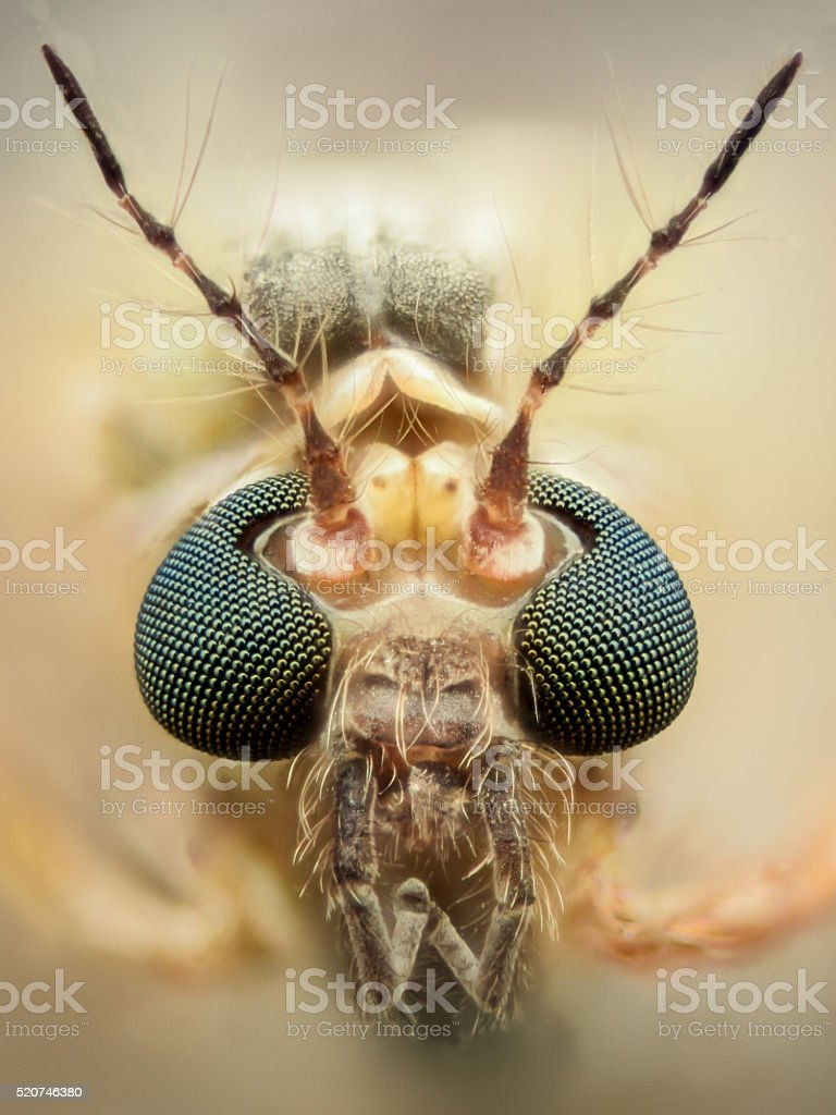 Extreme magnification - Mosquito head, thin antennas stock photo