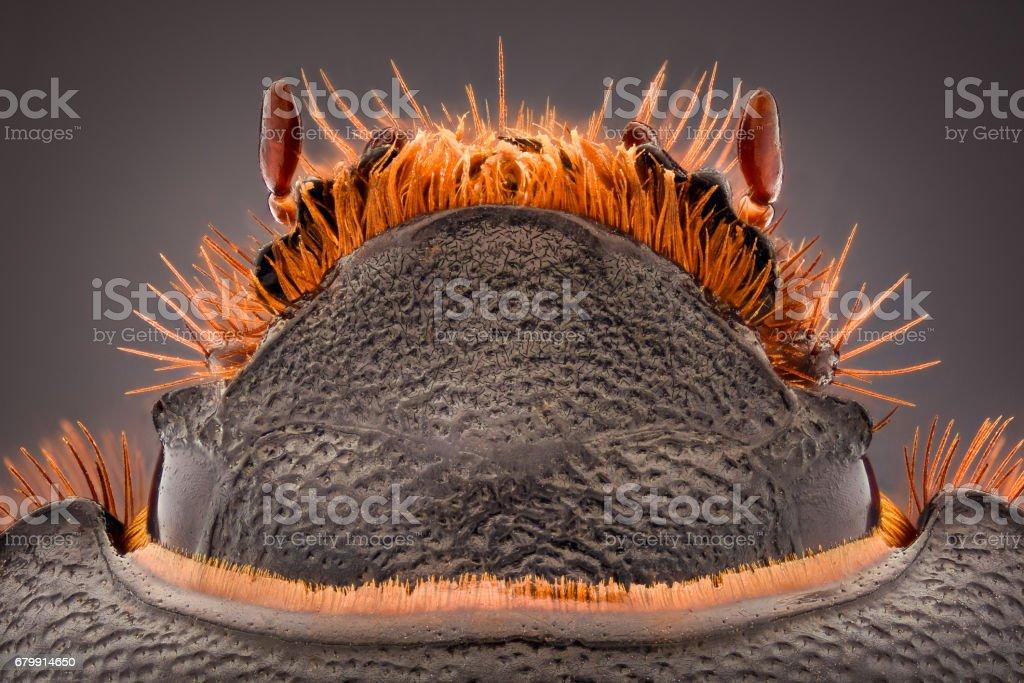Extreme magnification - Pentodon idiota stock photo
