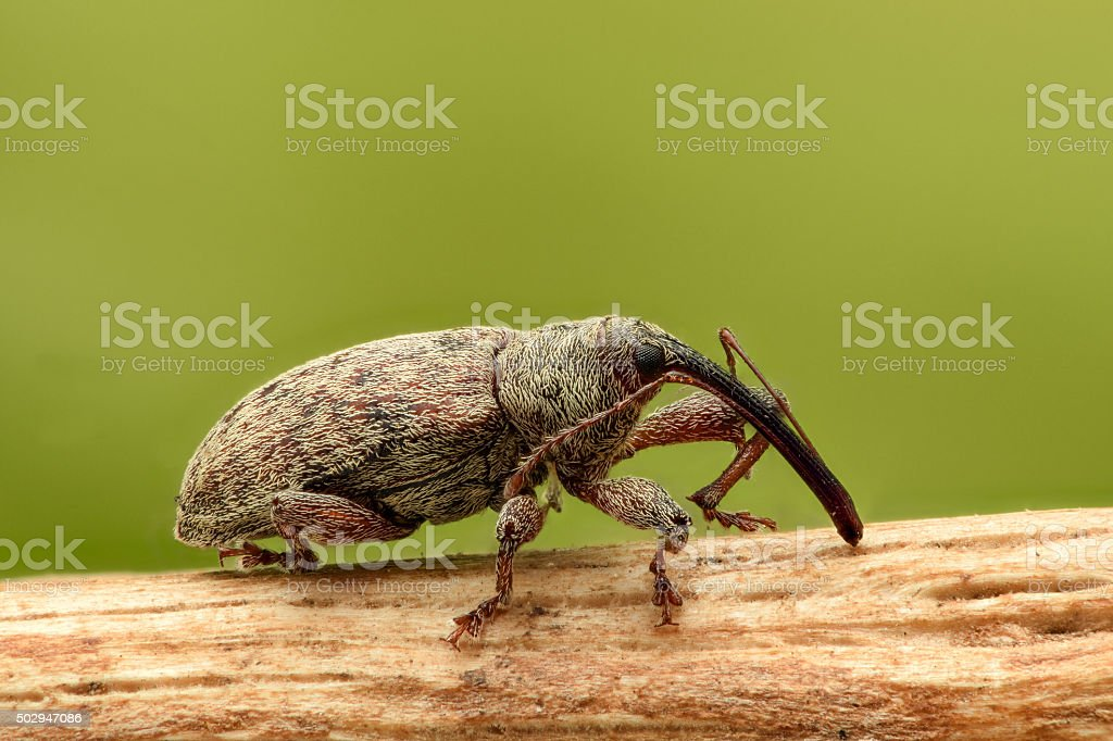 Extreme magnification - Weevil on a stick, side view stock photo