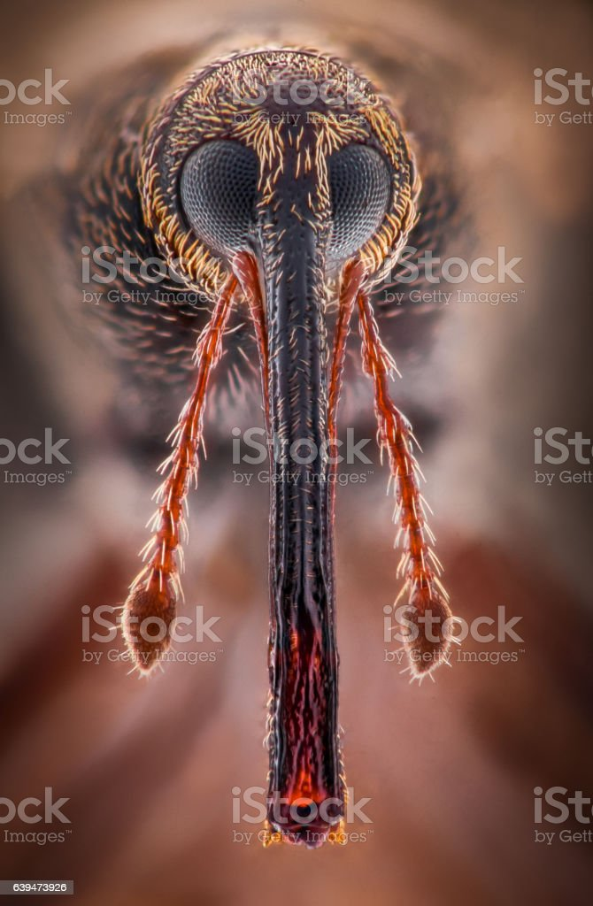 Extreme magnification - Weevil portrait stock photo