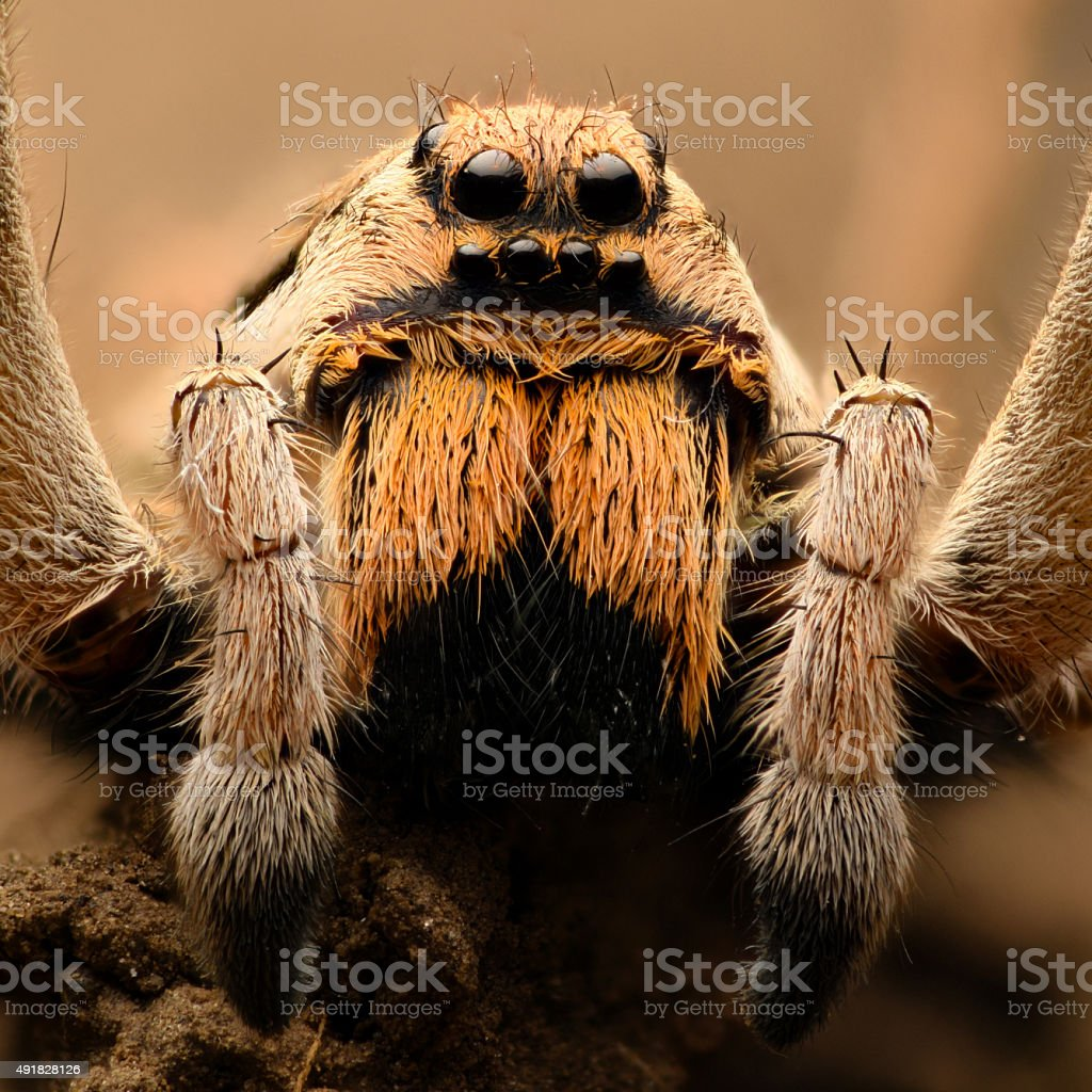 Extreme magnification - Wolf Spider stock photo