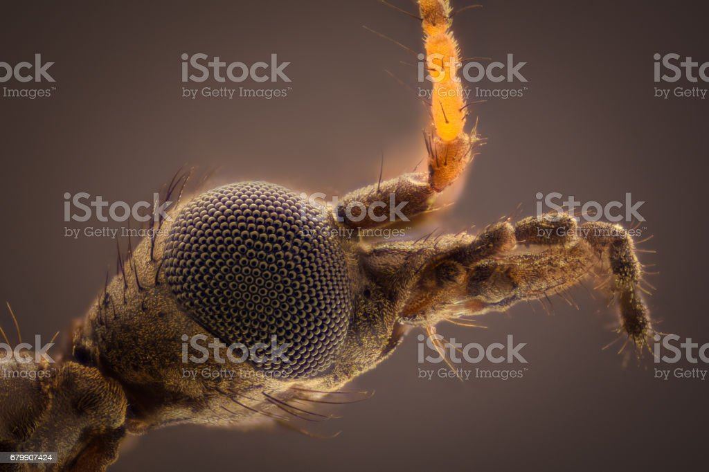 Extreme magnification - Young Tipula paludosa crane fly head stock photo