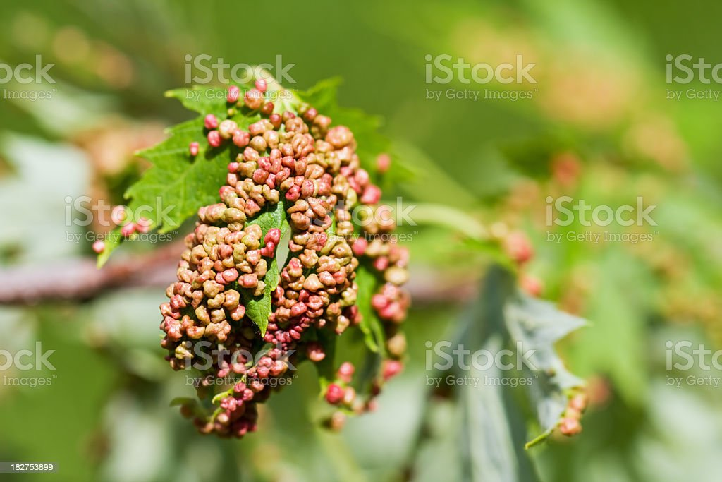 Extreme Maple Bladder Gall stock photo