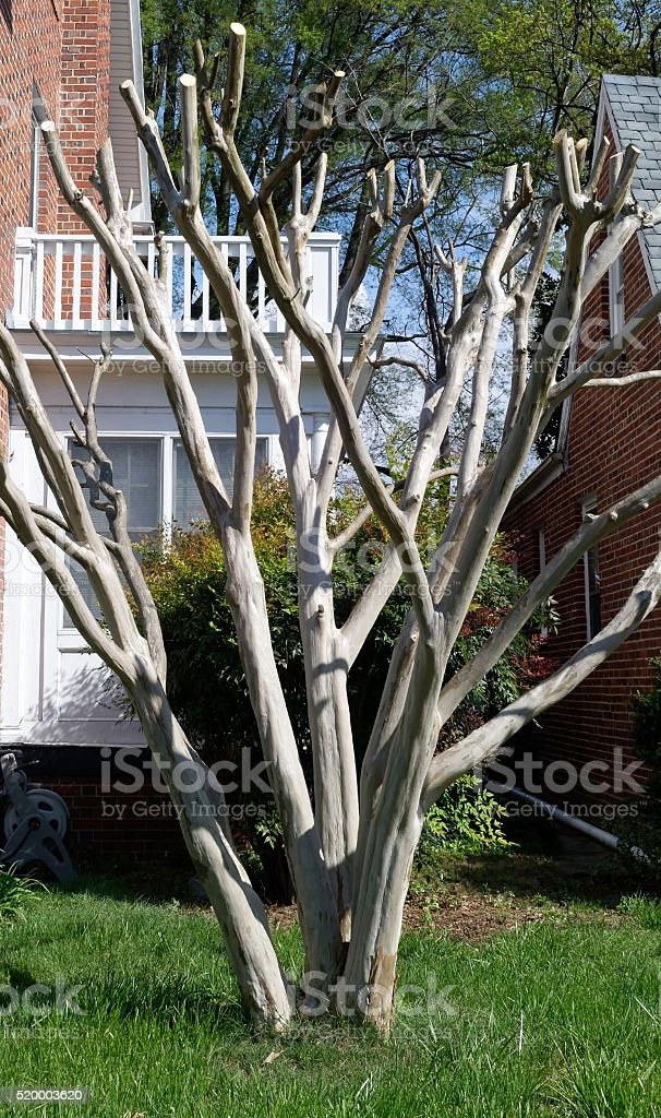 Extreme Pruning Crepe Myrtle stock photo