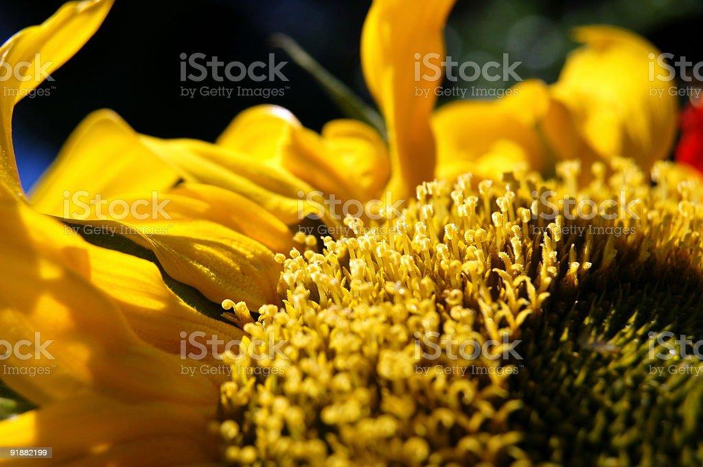 Extreme Sunflower stock photo