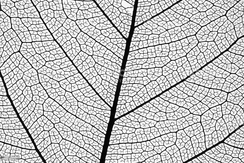 Extremely detailed leaf skeleton drawing stock photo