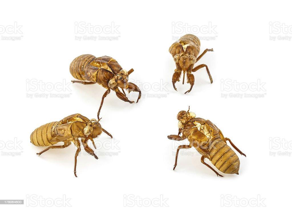 Exuviae of cicada royalty-free stock photo