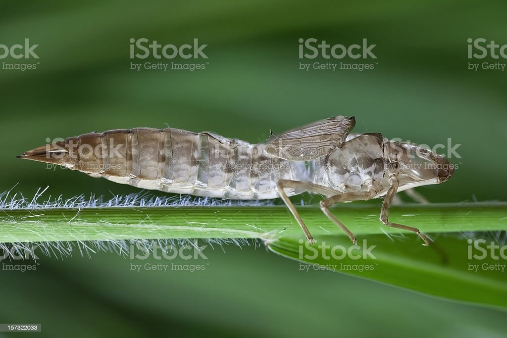 Exuvie of a Dragonfly royalty-free stock photo