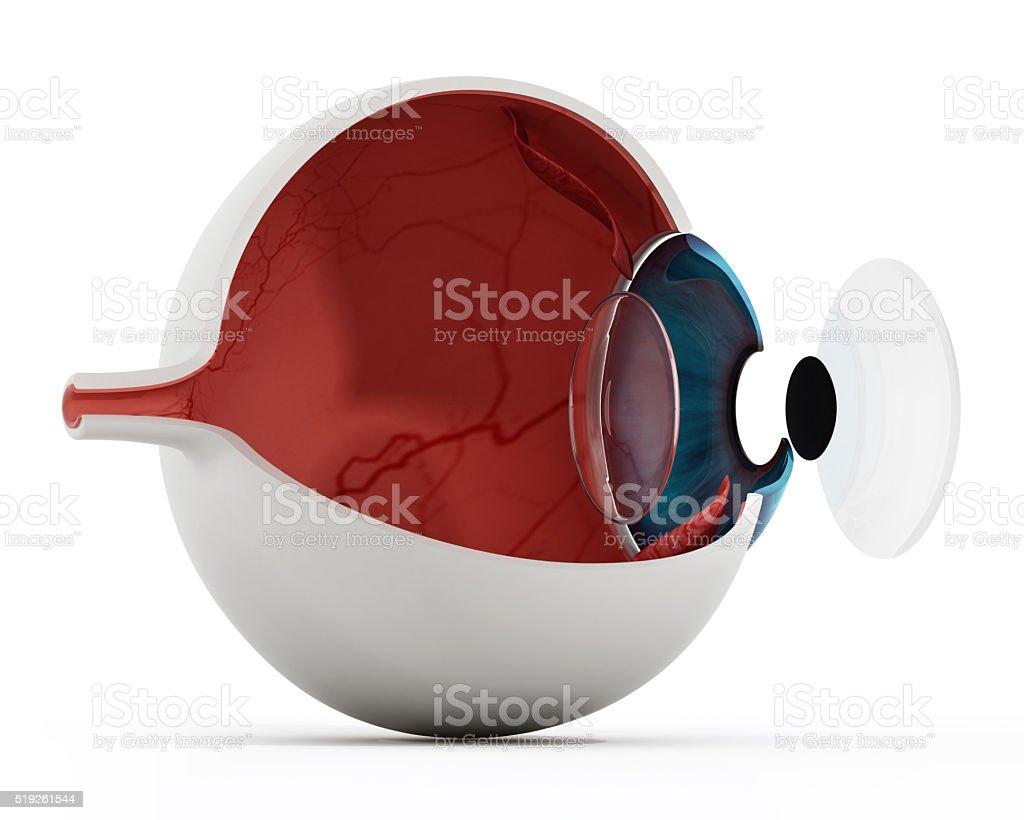 Eye anatomy stock photo