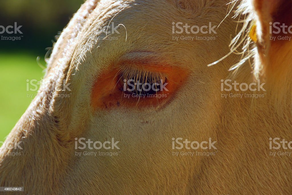 Eye and Eyelash of a Charolais Cow. stock photo