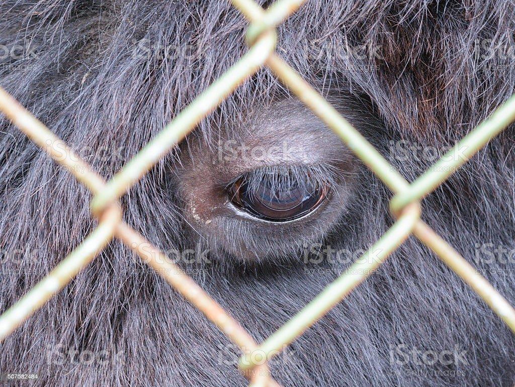 Eye buffalo, looking through the bars of grid stock photo