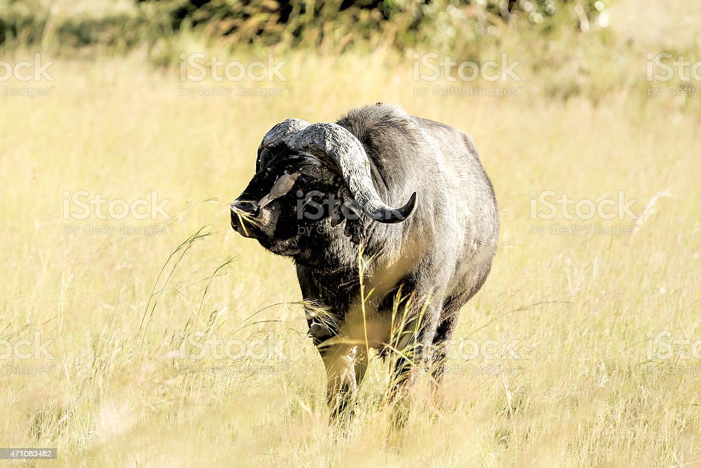 Eye Cleaning - Buffalo and oxpecker stock photo