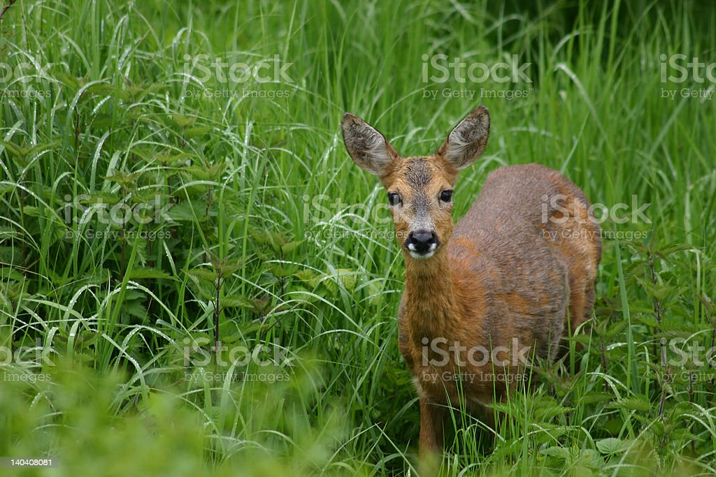 Eye contact with a deer royalty-free stock photo
