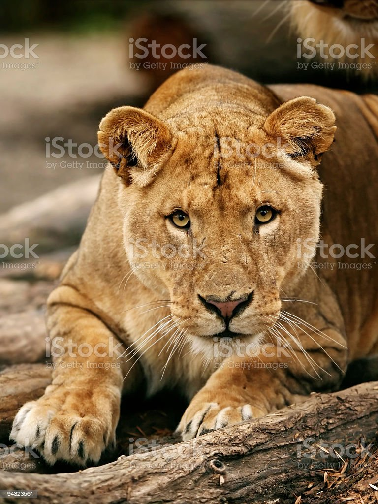 Eye contact with lioness stock photo