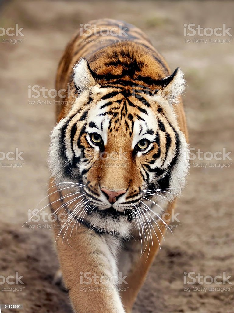 Eye contact with tiger royalty-free stock photo