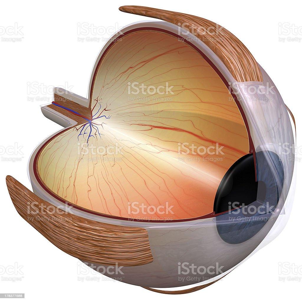 Eye diagram three quarter view stock photo