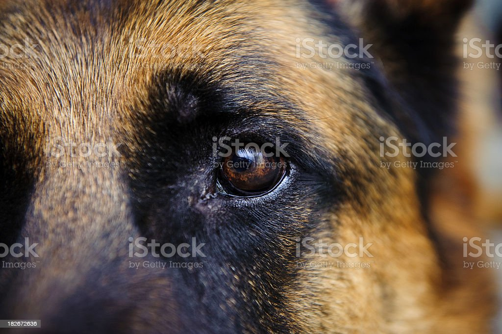 Eye Dog German Shepherd looking towards the camera stock photo