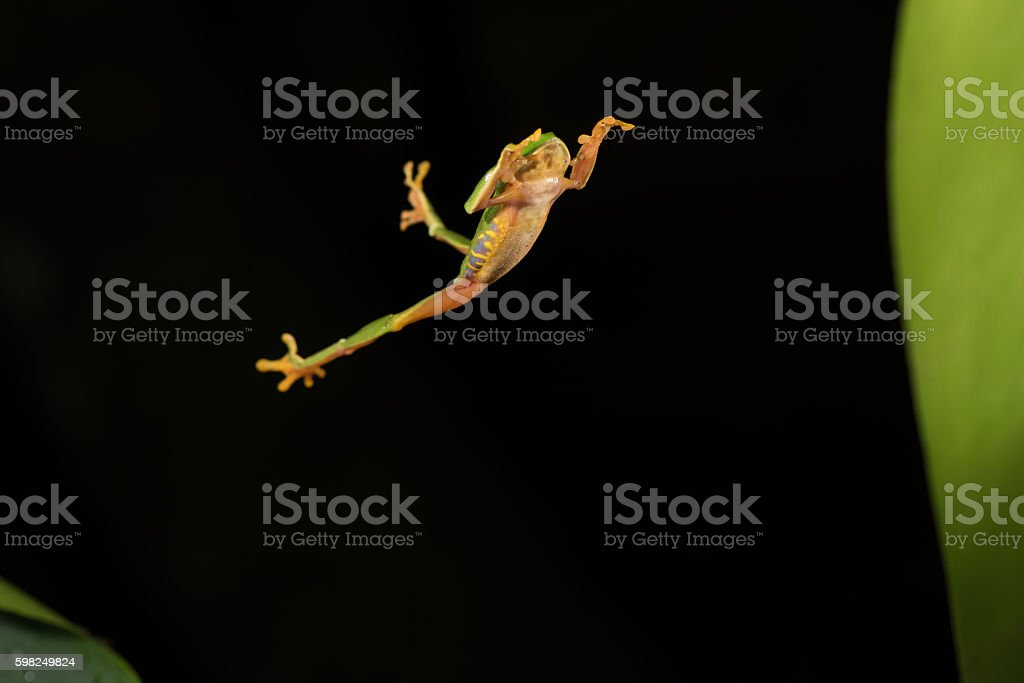 RED Eye Frog 38 stock photo