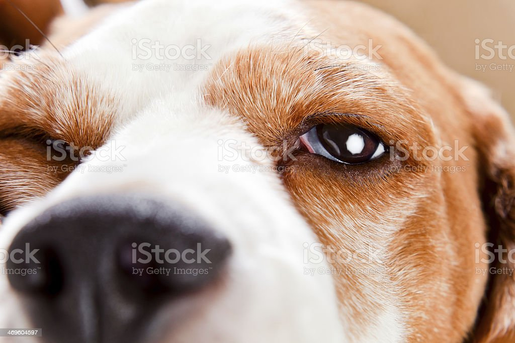 Eye of a dog royalty-free stock photo