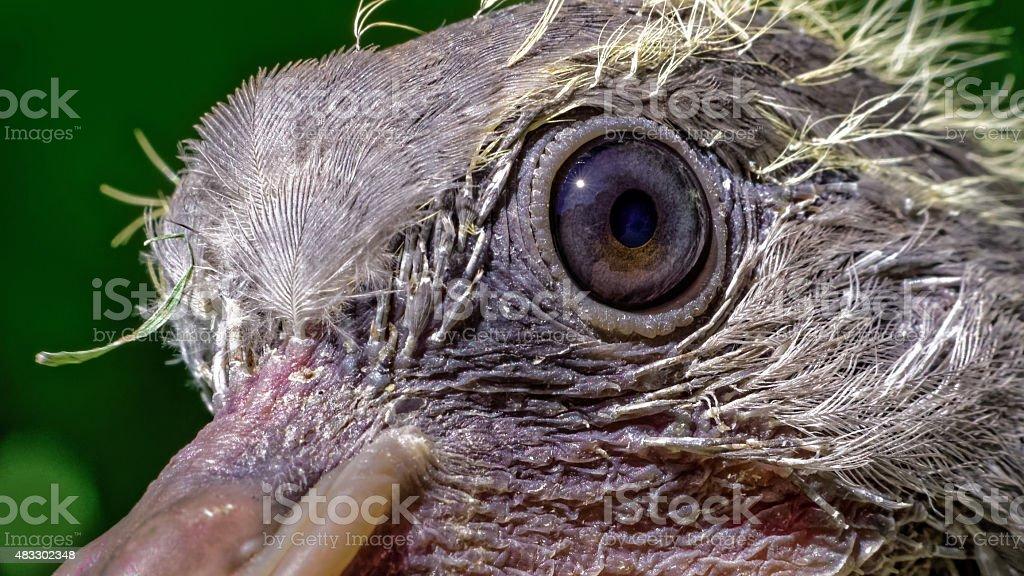 Eye of a newly hatched common wood pigeon (Columba palumbus) stock photo