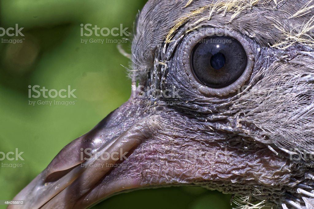 Eye of a very young common wood pigeon stock photo